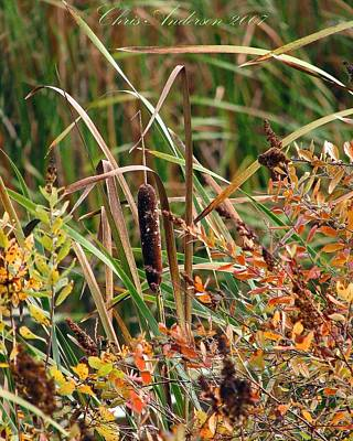 Photograph - An Autumn Cattail by Chris Anderson