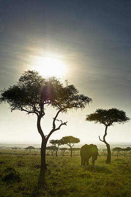 An Elephant Walks Among The Trees Kenya Art Print by David DuChemin