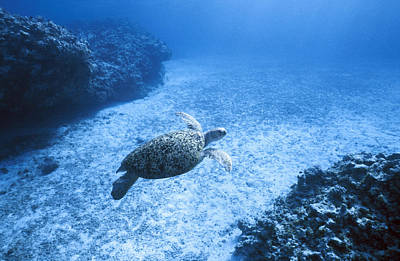 Green Sea Turtle Photograph - An Endangered Green Sea Turtle Glides by Jason Edwards