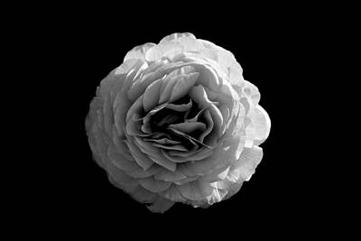 Blossom Drawing - An English Rose by Sumit Mehndiratta