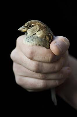 An English Sparrow House Sparrow Art Print