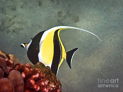Colorful Tropical Fish Photograph - An Idol-ized Reef Fish by Bette Phelan