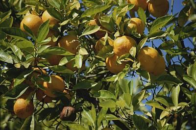 An Orange Tree Bears Fruit Along Sunset Art Print