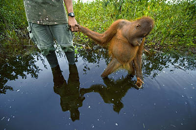 Forests And Forestry Photograph - An Orangutan Orphan Clings To The Hand by Mattias Klum