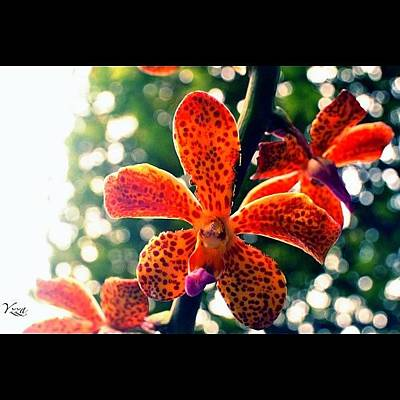 Orchids Photograph - An #orchid by Yzza Sebastian