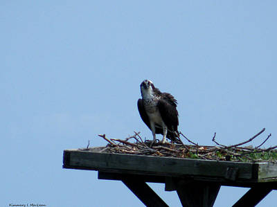 Photograph - An Osprey In Maryland by Kimmary MacLean