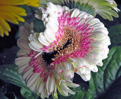 Photograph - An Unusual Gerbera by Chris Anderson