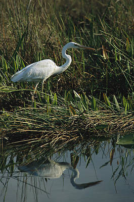 Pickerel Photograph - An Unusual White Great Blue Heron by Raymond Gehman