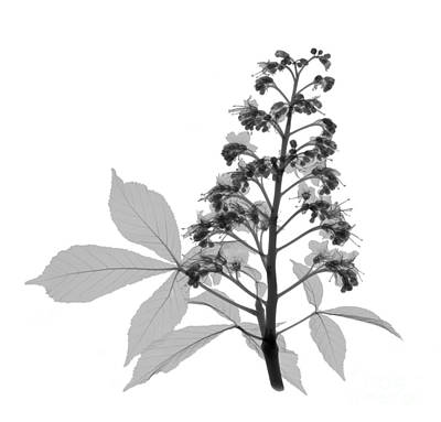 Photograph - An X-ray Of A Chestnut Tree Flower by Ted Kinsman