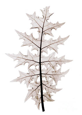 Photograph - An X-ray Of An Acanthus Leaf by Ted Kinsman