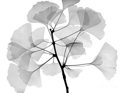 An X-ray Of Ginko Leaves Art Print by Ted Kinsman