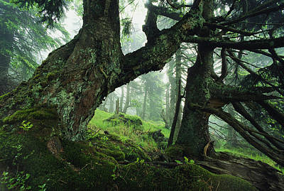 Ancient Fir Trees In Forest Art Print by Norbert Rosing
