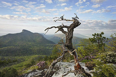 Ancient Pine On Hawksbill Mountain Art Print by Keith Clontz