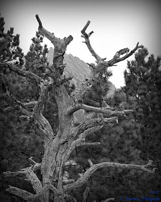 pinon tree coloring pages | Ancient Pinon Pine Photograph by Aaron Burrows