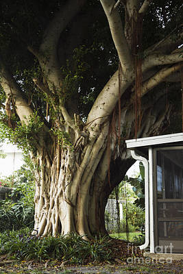 Ancient Apartments Photograph - Ancient Tree by Roberto Westbrook
