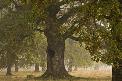 Pasture Woodland Photograph - Ancient Wood Pasture With Oak (quercus) by Bob Gibbons