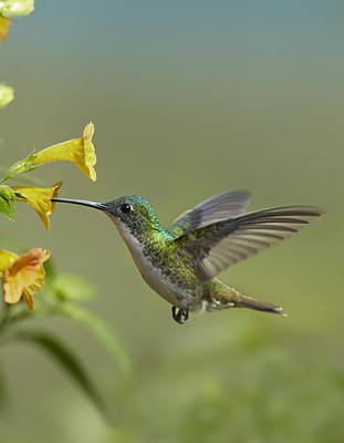 Amazilia Photograph - Andean Emerald Hummingbird Feeding by Tim Fitzharris