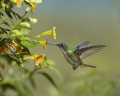 Amazilia Photograph - Andean Emerald Hummingbird Feeling by Tim Fitzharris