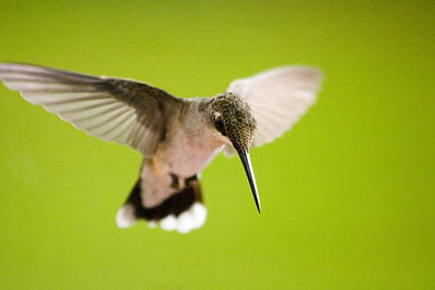 Photograph - Angel In Flight - Hummingbird -- Artist Cris Hayes by Cris Hayes