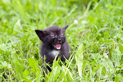 Fury Photograph - Angry Kitten by Michal Boubin