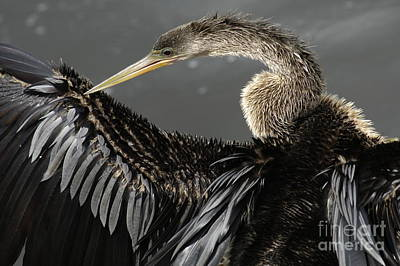 Anhinga Wall Art - Photograph - Anhinga by Bob Christopher