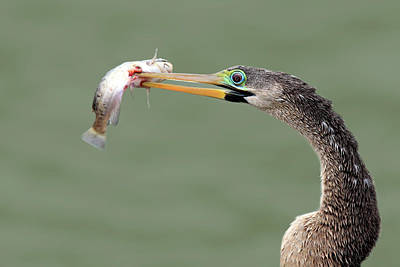 Anhinga Photograph - Anhinga Spearing Fish by Mlorenzphotography