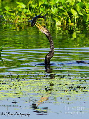 Photograph - Anhinga Stabs A Fish by Barbara Bowen