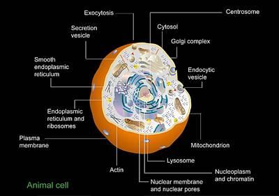 Animal Cell Anatomy, Diagram Art Print by Francis Leroy, Biocosmos