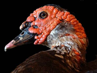 Photograph - Animals - A Pertinent Muscovy Duck by William OBrien