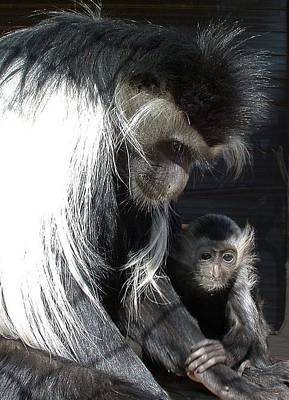 Photograph - Animals - Colobus Mother And Baby by William OBrien