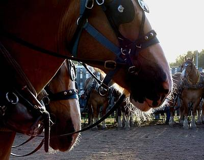 Photograph - Animals Draft Horse Pull by William OBrien