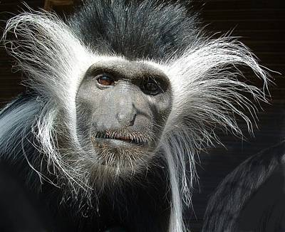Photograph - Animals Parent Male Colobus Staring Down by William OBrien