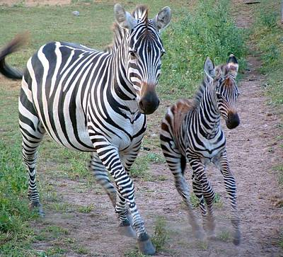 Photograph - Animals  Zebra Mother With Yearling by William OBrien