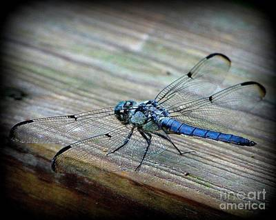 Photograph - Anisoptera by Priscilla Richardson