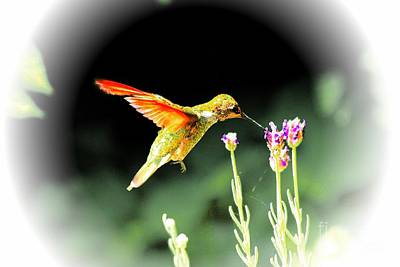 Anna Humming Bird  Art Print by Paul Baker