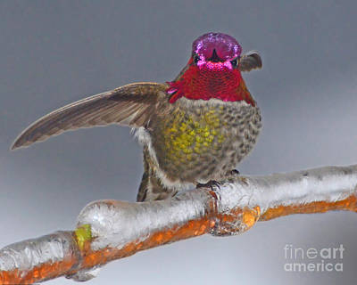 Photograph - Anna Hummingbird In The Winter by Jack Moskovita