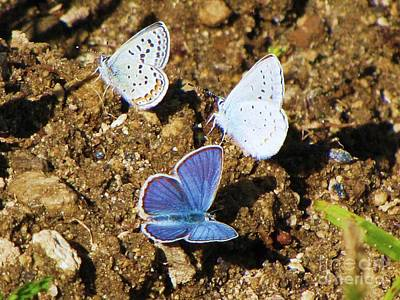 Photograph - Anna's Blue Butterflies by Michele Penner