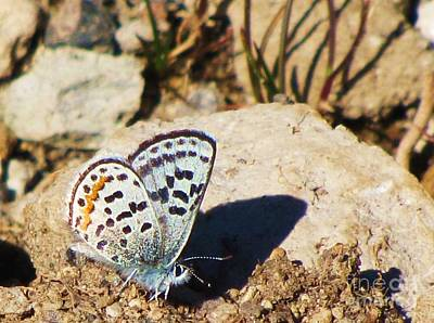 Photograph - Anna's Blue Butterfly by Michele Penner