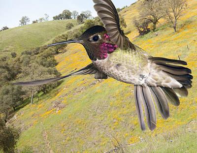 Humming Bird Photograph - Annas Hummingbird Over Poppy Mountain by Gregory Scott
