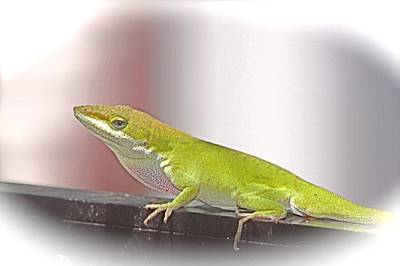Photograph - Anole Daydream by Jeanne Kay Juhos