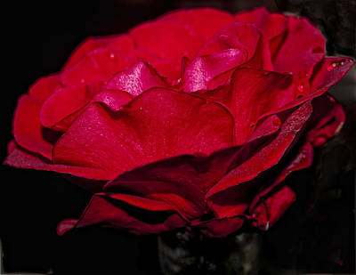 Photograph - Another Red Rose by Barbara Middleton
