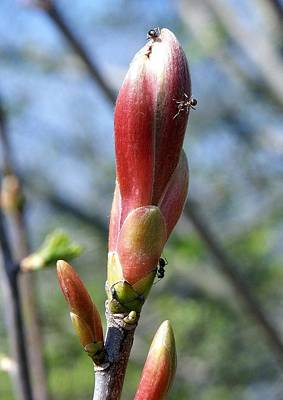 Photograph - Ant Bud by Ed Lukas