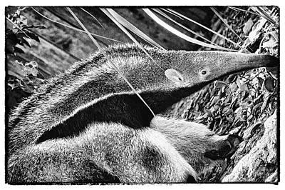 Photograph - Ant Eater by Perla Copernik