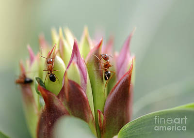 Photograph - Ant Feast Continued by Nancy Greenland