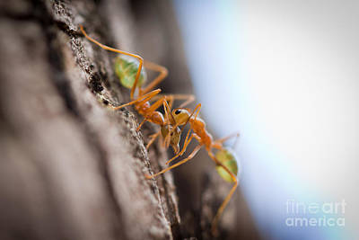 Australia Photograph - Ant Fight by Johan Larson