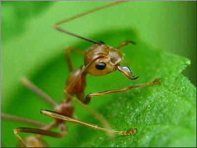 Photograph - Ant by Glenn Bautista