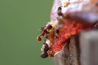 Photograph - Ant On Peach by Pan Orsatti