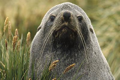 Photograph - Antarctic Fur Seal Arctocephalus by Gerry Ellis