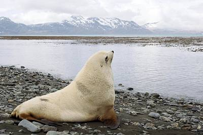 Blondie Photograph - Antarctic Fur Seal Blonde Male by Charlotte Main