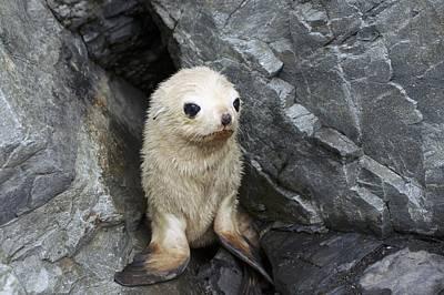 Blondie Photograph - Antarctic Fur Seal Blonde Pup by Charlotte Main